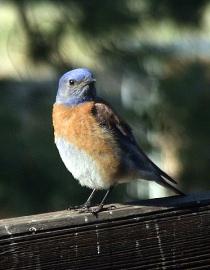 Western Bluebird @home 2008jun03 LAH 015r