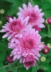 Chysanthemums