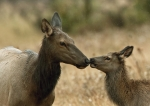 Elk with calf
