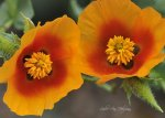 Horned Poppies
