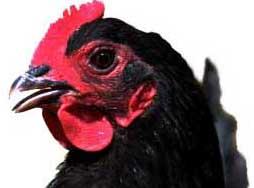 chicken_blkforestco_20100411_-lah_2028c1