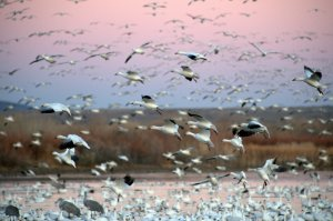 Snow Geese_BosquedelApache-NM_LAH_6273