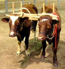 Young_oxen_Wikicommons-001