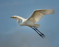 Great Egret_MerrittIslandNWR-FL_LAH_3618