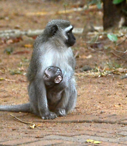Attachment parenting is nothing new. This mother Vervet monkey carries its baby on its chest.