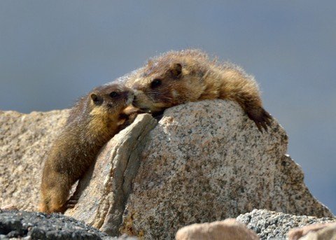 Yellow-bellied Marmots may have two to seven siblings. Two kids were enough for me!