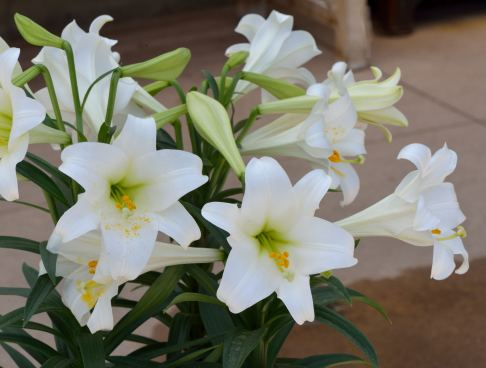 Lilium longiflorum_Easter Lily_DBG-CO_LAH_4375