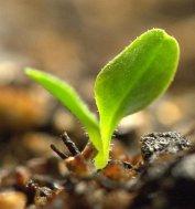 Lettuce seedling_LAH_9671