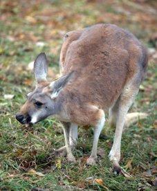 Red Kangaroo_DenverZoo_LAH_2747