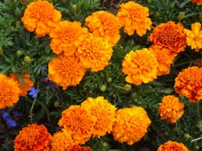 Tagetes - Marigolds @SantaFeGreenhouses 2008jun28 LAH 107