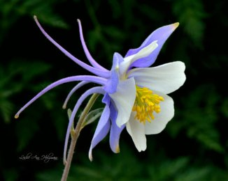 8 x 10 Colorado Columbine_4741f