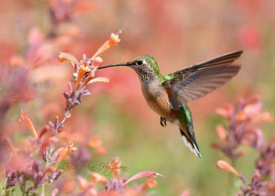 Rufous Hummingbird at Agastache_XG-CO_LAH_3613_filtered