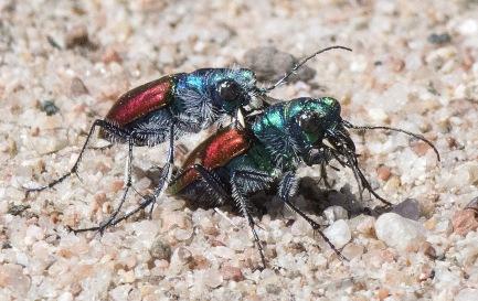Festive Tiger Beetle